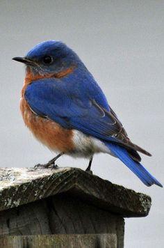 Eastern Bluebird standing on a birdhouse. Pretty bird is decked out in red, white and blue.