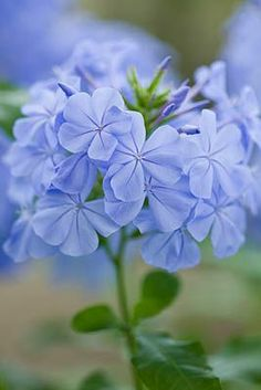 Clive Nichols - DESIGNER CLARE MATTHEWS: BLUE FLOWERS OF PLUMBAGO - LEADWORT