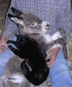 Baby donkey & cat nap in farmer's lap. They look as though all 3 of them feel completely safe. Unusual Animal Friends, Unlikely Animal Friends, Unusual Animals, Animals Beautiful, Beautiful Cats, Simply Beautiful, Baby Donkey, Cute Donkey, Mini Donkey