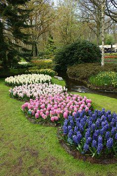 Circles of Hyacinths, Keukenhof Gardens, The Netherlands.