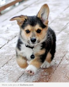 One ear up, the other down. Probably the cutest corgi puppy phase (!).