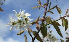 amelanchier 'ballerina' - small tree (max 5m), white flowers April, vibrant orange / red leaves autumn