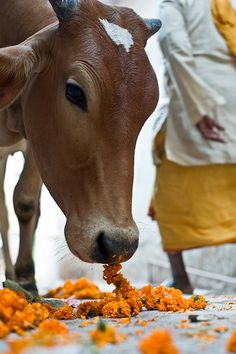 .THE HOIL COWS IN INDIA WHO LOVE TO EAT FLOWERS