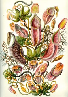 Haeckel Poster - Organisms Classified as Nepenthes
