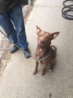 Neccog Animal Services Page Liked · March 7 ·    *FOUND DOG* found in Voluntown on Preston Rd. Shiba Inu Mix, male, approximately 1-2 years old, red/chocolate, approximately 40 pounds.