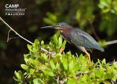 Esta  Garza verde encontro el lugar perfecto para disfrutar de la luz del sol sobre los manglares de Mayakoba!