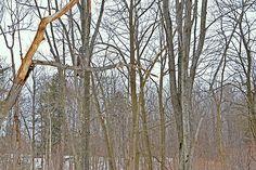 The Great Grey Owl in its habitat