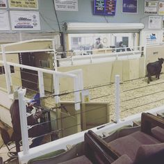 I like the competition, I like the pace, I like the mental game but most of all I like to buy good calves.  #krosecattle #idaho #salebarn #buyingcattle