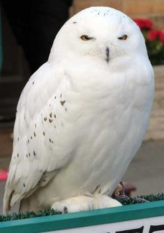 Just a picture of Hedwig for a Sunday afternoon. Raptor Bird Of Prey, Harry Potter Studios, Animal Magic, Beautiful Owl, Hedwig, Owl Bird, Snowy Owl, Harry Potter Characters, Funny Animals