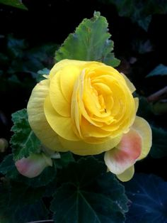 flower, petal, yellow, nature, flower head, beauty in nature, rose - flower, no people, fragility, freshness, close-up, plant, growth, outdoors, blooming, day