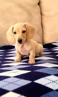 English Cream Mini Dachshund.