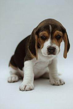 Beagle. By Mauricio Méndez. #dog