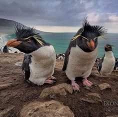 Southern Rockhopper Penguins of the Falklands! 🐧 These incredible Penguins (Eudyptes chrysocome) are native to various areas of coastline… Lightroom, Photoshop, Animals And Pets, Funny Animals, Cute Animals, Ocean Photography, Animal Photography, Penguin World, Macaroni Penguin