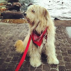 Otterhound! I want one