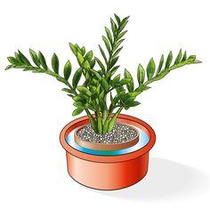 Zamioculcas zamiifolia è una pianta d'appartamento apprezzata soprattutto per la…
