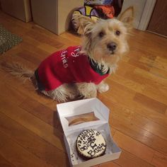 Celebrated my Gotcha Day on Christmas. Had to take Benadryll after this because I was allergic to the cake or something I might've gotten into in the trash can. Check out my puffy face! #Christmas #gotchaday #cake #allergies #latepost ---------------------------------------------------- #busterthepupster #buzzfeedanimals #lacyandpaws #UnleashedByPetco #dogfessional #mydogiscutest #instapet #instadog #instapup #petsofinstagram #puppy #puppiesofinstagram #dog #dogsofinstagram #terrier…
