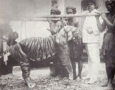 www,villabuddha.com  Bali IndonesieAn old male balinese tiger killed in the early 1900s