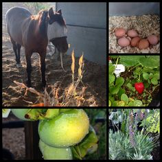 What do we do with all the leftovers from the garden?  Recycle it of course!  Our horses love our garden as much as we do.