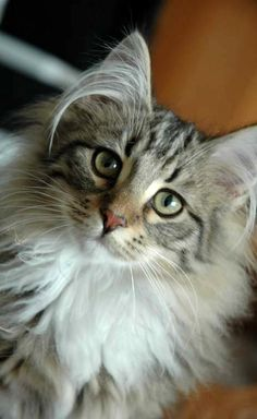 I never saw this breed of cat. Beautiful but a little strange looking with long hairs coming out of his ears. Norwegian Forest Cat