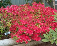 Hino Crimson evergreen azalea. Popular and I can see why!