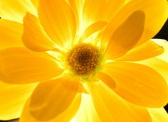 Backlit yellow flower.