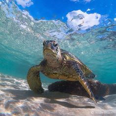 I want to be swimmming with this guy right now! Land Turtles, Baby Sea Turtles, Cute Turtles, Turtle Time, Tortoise Turtle, Water Animals, Ocean Creatures, Reptiles And Amphibians, Tortoises
