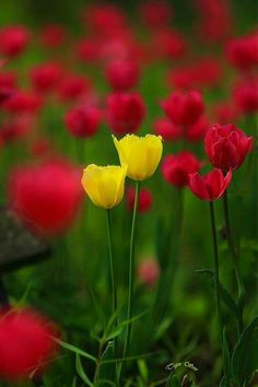 Tulips  -  Colors:  Yellow, Red, Green