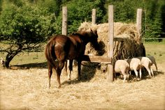 Malakai and the sheep sharing a feast!