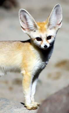 Fennec fox @ everland.korea