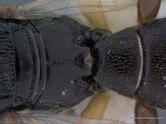 Platyscelio_africanus_OSUC207985_dorsal_propodium