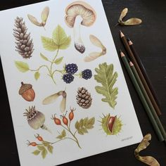 September Field Guide all finished, I will be making prints of this one in the next week  #September #Autumn #fall #woodland #drawing #illustration #botanical #botany #fieldguide #nature #naturalhistory #pencil #pinecones #acorns #conkers #blackberries #etsy #mushrooms #fungi