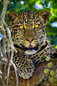 Foto: Hermosa mirada felina..   Los grandes felinos Incluyen a cuatro especies en el género Panthera: el león (Panthera leo), tigre (Panthera tigris), leopardo (Panthera pardus) y el jaguar (Panthera onca). Los miembros de este género son los únicos capaces de rugir, y esto se considera como un elemento característico de los grandes felinos. Todos los felinos son eficientes depredadores carnívoros. Su rango de distribución incluye América, África, Asia y Europa. Sólo Oceania y la Antártida…