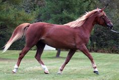 Canadian Horse mare Sarrabelle Pharraud Hultime - I'm drawn to the red/sorrel/chestnut/palamino colors