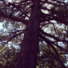 Weeping pine