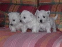 Nos chiots Westie, élevage chien de race France, naissance bébé - Willycott . c o m -
