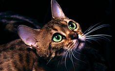 Raza de gatos bengalies