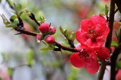 명자나무꽃, 꽃, 나무, 식물, 3월, 나뭇잎, 동백 나무, 봄, 꽃 나무, 자연, 붉은 꽃, 풍경