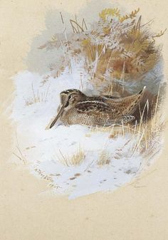 Woodcock From Archibald Thorburn
