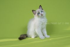 11 Week oud. Ragdoll Lady Sif, Cats, Animals, Gatos, Animales, Kitty Cats, Animaux, Animal Memes, Cat Breeds