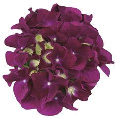 Hydrangea macr. Purple Punk® Stunning