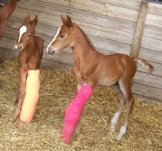 Barrel Racing horses for sale and stallions at stud. Twin Foals born in Donations accepted Baby Horses, Cute Horses, Horse Love, All The Pretty Horses, Beautiful Horses, Animals Beautiful, Cute Baby Animals, Animals And Pets, Bryer Horses