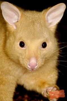This Golden Brushtail Possum (Trichosurus vulpecula) from the Wildlife Sydney in Australia. The Golden Brushtail is actually just a color variation on the normally dark gray/tan colored Common Brushtail Possum. The color is due to the low levels of melanin in their skin and fur. There are actually four different color variations brushtail possums can come in: silver-grey, brown, black and gold.