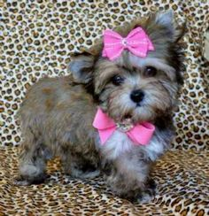I found 'Morkie puppy' on Wish, check it out! Morkie Puppies, Lab Puppies, Cute Puppies, Yorkies, Poodle Puppies, Chihuahuas, Dog Love, Puppy Love, Baby Animals