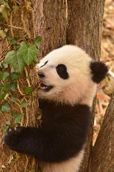 https://flic.kr/p/mHzrHq | Bao Bao - Panda cub | 140402 cd 488