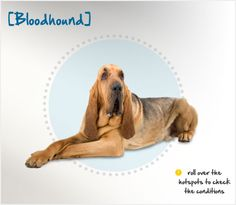 Did you know the Bloodhound has been around since before the Crusades, when they were brought from Constantinople to Europe to hunt deer and wild boar? Read more about this breed by visiting Petplan pet insurance's Condition Checker!