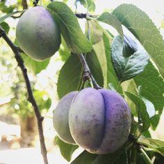 European plums Lindsey Taylor gardens