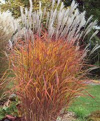 Purple Japanese Silver Grass (Miscanthus) Flame Grass Miscanthus sinensis 'Purpurascens' Partial Shade, Full Sun, H: 3-4 ft, w/plumes 5-6 ft x W: 2-3 ft