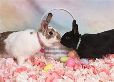 Bunnies Have a Quick Kiss over the Easter Basket