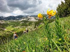 How about a walk on the most beautiful mountain around Sarajevo; offering peaks endless green meadows lakes and cliffs.     There's no better place than Mt. Treskavica. And right now you're able to see the endemic Bosnian lilly (lillium bosniacum)   Book now for only 50. For more info: www.highlander.ba  #HighlanderAdventures Bosnia, Walk On, Lakes, Most Beautiful, Hiking, Mountain, Inspirational, Adventure, Book