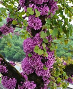 Bij een judasboom bloeien de bloemetjes direct uit de stam!